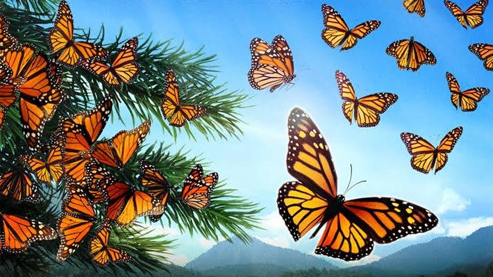Butterflies710